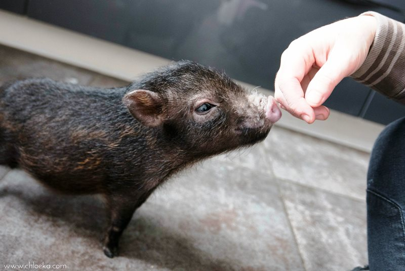 chloeka-Fiona bébé cochon- janvier 2016_-3