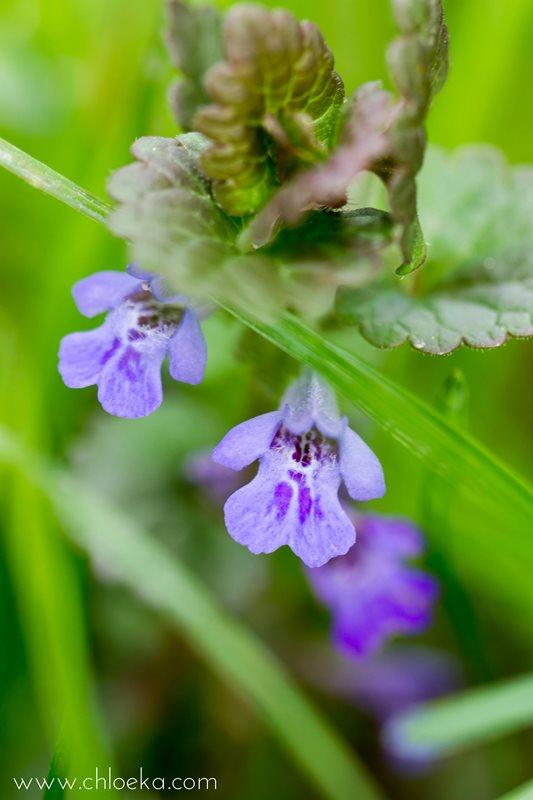 chloeka- Fleurs des champs- La Wantzenau- avril 2016-31 lierre terrestre
