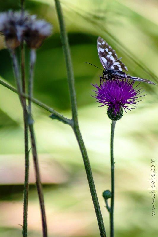 chloeka- Montguers Drome- papillon 12 aout 2016