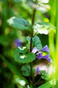chloeka-Plantes sauvages Vogelau mai 2016-12 lierre terrestre