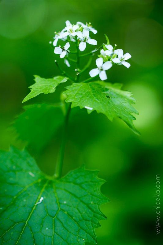 chloeka-Plantes sauvages Vogelau mai 2016-alliaire (1)