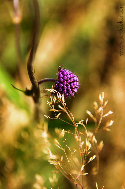 chloeka- Randonnée Gazon de Faing - Aout 2015 - végétale