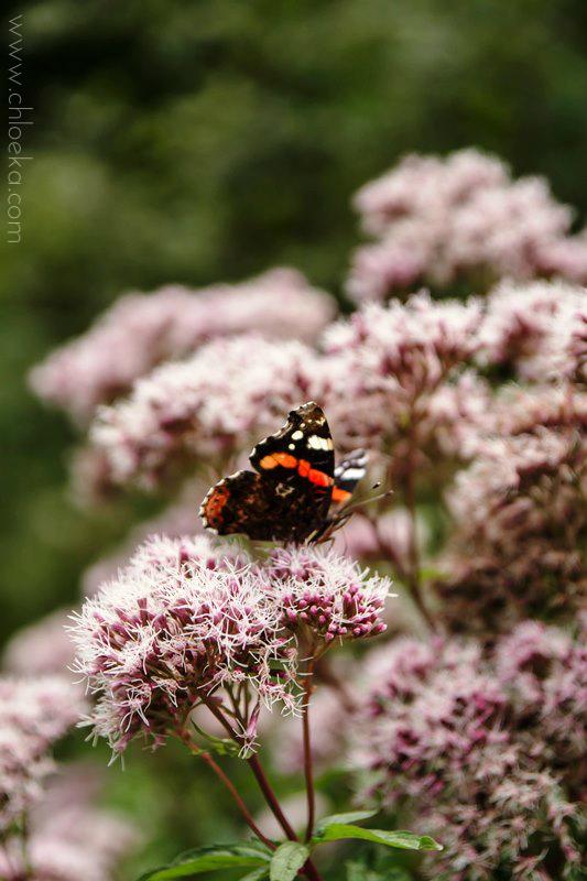 chloeka - balade Mummelsee sept 2015 - le papillon
