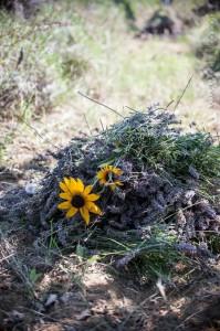chloeka -  récolte de lavande - Mérindol juillet 2014
