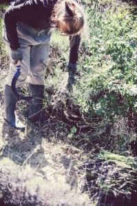 chloeka -  récolte de lavandel - Mérindol juillet 2014