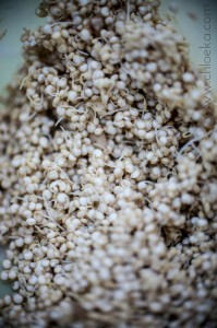 Quinoa germé